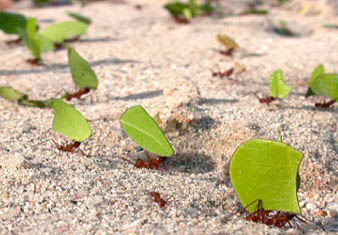 A line of ants carrying leaves
