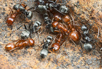 A colony with red ants and black ants