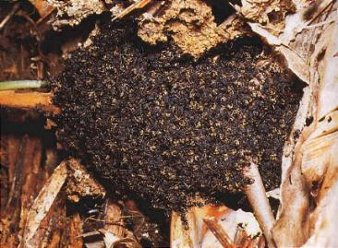 The ants come together to form a living nest.