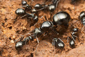 The queen ant surrounded by its workers