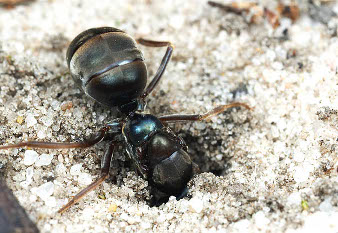 The queen ant enters in its hole